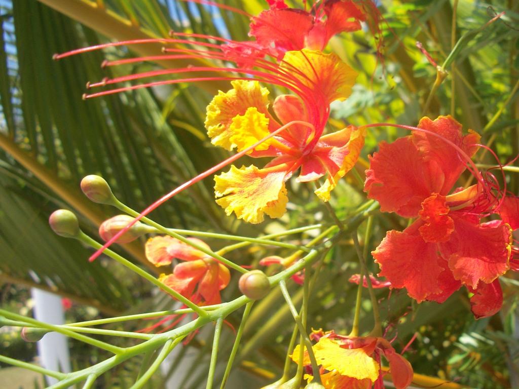 sch nheiten aus dem garten eden zierpflanzen in der dominikanischen republik domrep 24. Black Bedroom Furniture Sets. Home Design Ideas